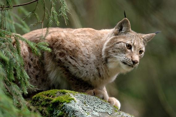 lodjur, Swedish lynx