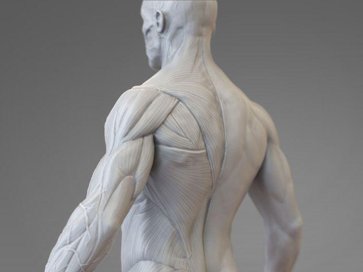 Anatomical Study, Pascal Ackermann on ArtStation at http://www.artstation.com/artwork/anatomical-study