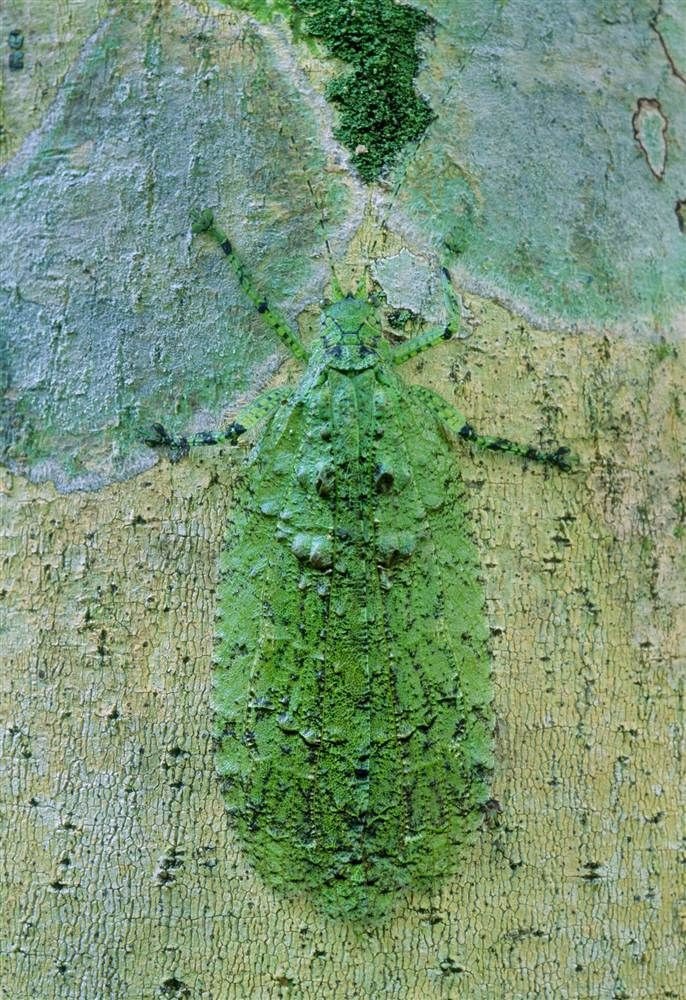A lichen-mimic katydid blends perfectly into the tree bark. / Caters News Agency