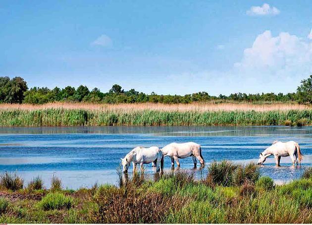 Ausgewilderte Przewalski-Pferde grasen in der Lüneburger Heide