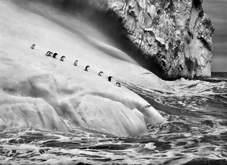 Chinstrap #penguins dive off #icebergs located between Zavodovski and Visokoi islands in the South #Sandwich Islands, 2009. #Salgado #Genesis #bw