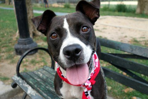 ATHENA aka OMPUNG - A1087153 - - Manhattan  Please Share:TO BE DESTROYED 09/14/16  **INCREDIBLY SWEET GIRL SUITABLE FOR AVERAGE HOME** A volunteer writes: Athena is an incredibly sweet and fabulous dog. She was my first walk of the day, and my last which is a spot I reserve for my favorites. She's housetrained as advised by her former owner, good on leash, affectionate, sweet, snuggly and delish! We're told that she's lived well with young children, strang