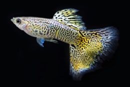 1000 ideas about guppy fish on pinterest aquarium fish for Easy to care for fish
