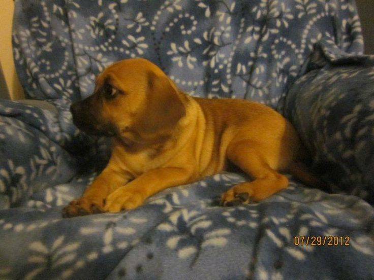 Puggle Puppies For Sale In Pa. http://www.network34.com/dogsbreed/puggle-puppies-for-sale-pa-md-ny-nj-dc/