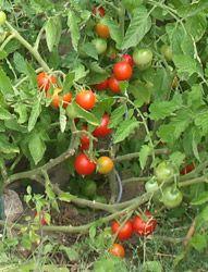 Tomaten pflanzen selber ziehen und ernten