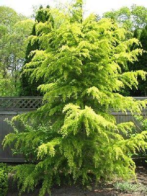 Cedrus Deodara Aurea - grafted  in 7cm pot bonsai subject