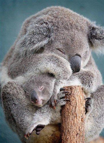 A koala mama hugs her little joey.