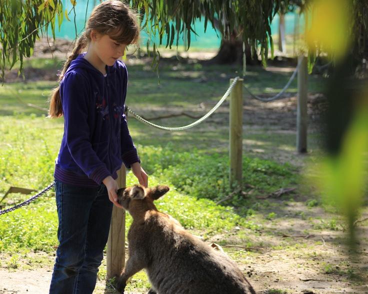 Amy (10) feeding Kangaroo at Halls Gap Zoo, Grampians (Sept 2012).