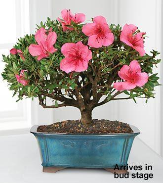 Blooming Azalea Bonsai - 8