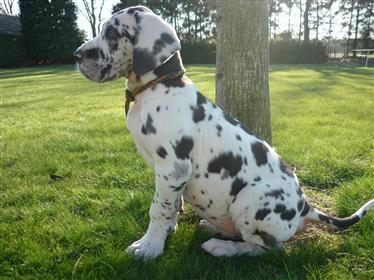 deense dog pups