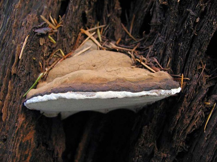 Ganoderma applanatum or Artist's Conk