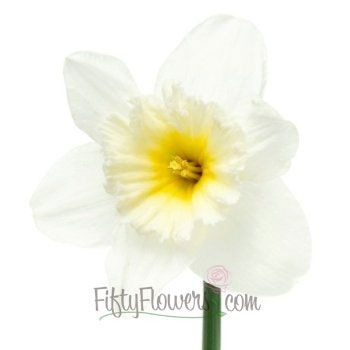 FiftyFlowers.com - Daffodil White Fresh Cut Flowers
