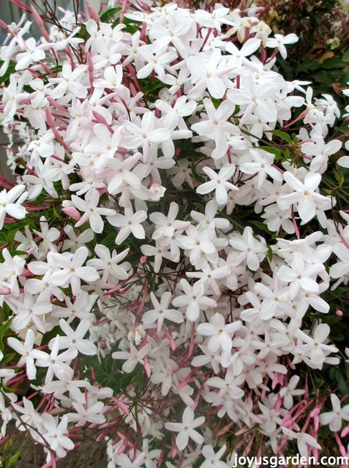 How To Care For The Sweet Pink Jasmine, Jasminum polyanthum, That Everybody Loves.