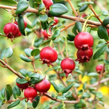 James Wong Chilean Guava plants from Suttons Seeds