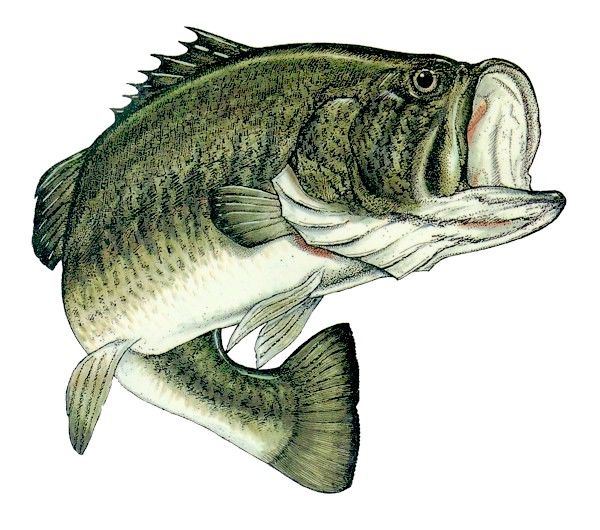 25 great ideas about bass fish cake on pinterest for Blue bass fish