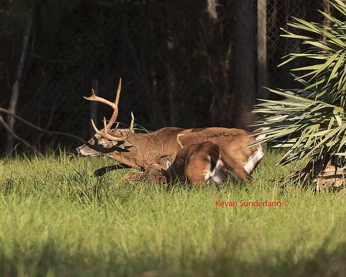 Linda and I shoot the White Tailed Deer Rut in Central Florida every year!! We know that in our area the Rut starts with the first cold front. Some go by the eleventh Full Moon as the start of the Rut. Many hunters use this as a guide. We have been l #hunting #GameHunting