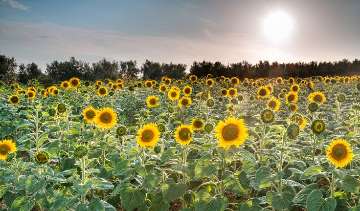 Lose yourself in a field of sunflowers...Location: Halkidiki, Greece