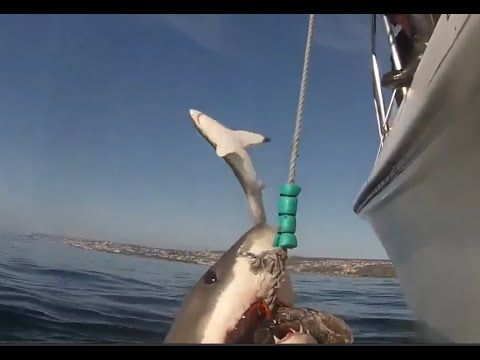 Great white shark jumping out of water