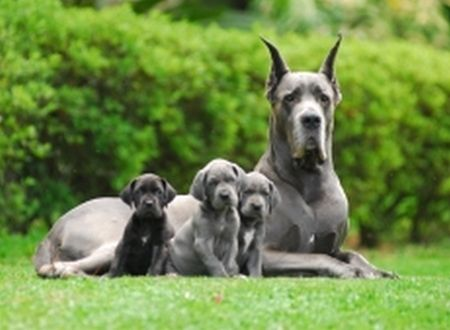 Cães Gigantes » Cães Online