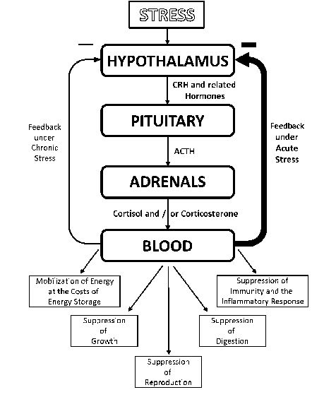 Fig. 1 The hypothalamic–pituitary–adrenal (HPA) axis, the negative feedback response of animals to an acute stressor compared with those under chronic stress, and the major impacts stressors have on bodily processes (boxes). Figure adapted from Boonstra et al. (1998)