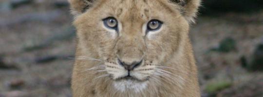 fick inte föda. Lejonungar som svultit ihjäl är bara en av uppgifterna som framkommit om förhållandena på djurparker. Lejonungen på bilden har inte drabbats. Foto: Leif Hallberg