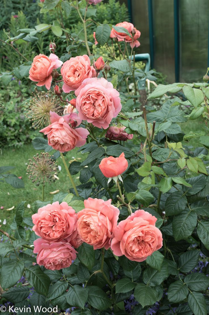how to move roses in summer