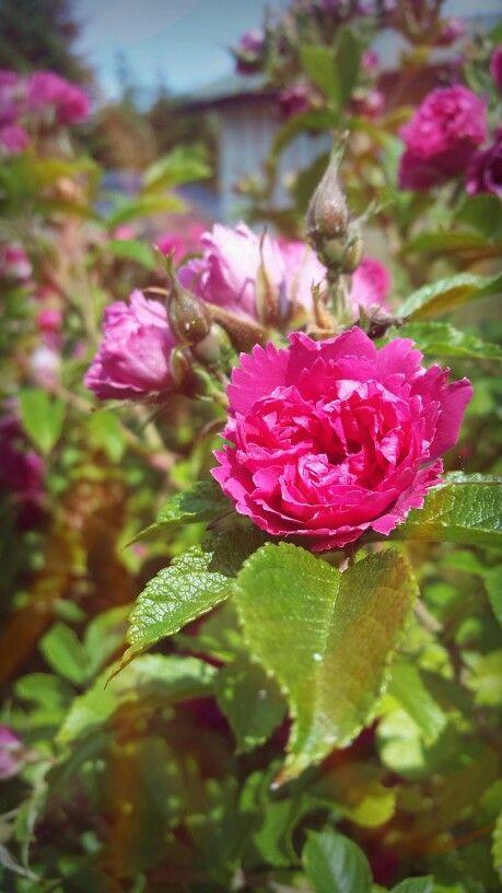 Rosebusken blomstrer ♡
