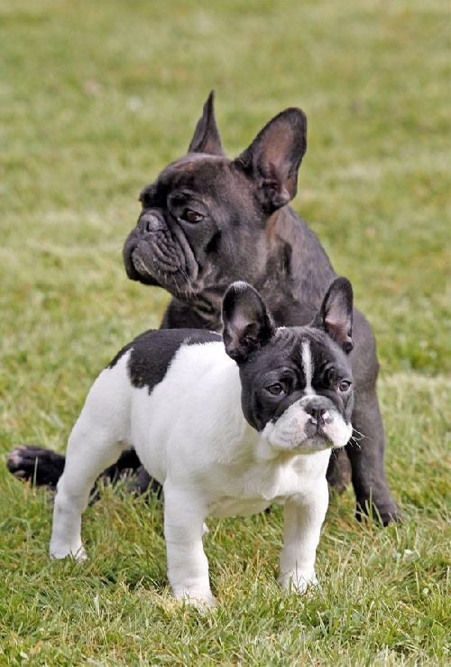 Super 108 best Bouledogue Français images on Pinterest | Dogs, French  DF14