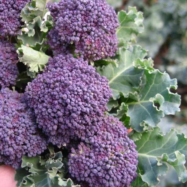 Broccoli 'Purple Sprouting Early' Brassica oleracea var. italica