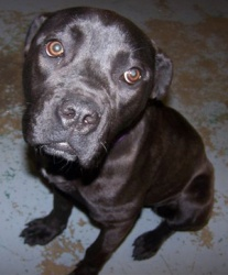 Panther is an adoptable Cane Corso Mastiff Dog in Cleveland, OH. Panther, a 6-8 month old Italian Mastif / Boxer / Lab mix, is an arrival from the City of Cleveland kennel. She was picked up as a stra...