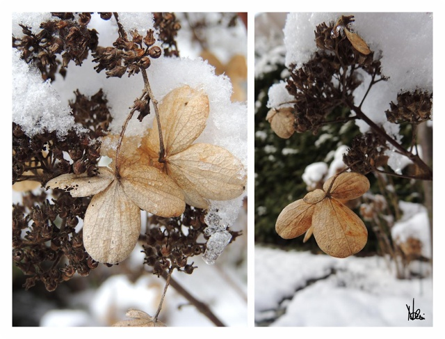 Hortensie Pinky Winky im Winter