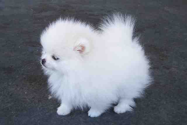 Teacup Pomeranian Puppies, New Funny Pet Pictures | Dogs,Cats,Birds,Hamsters and More | petcollectionworld.com