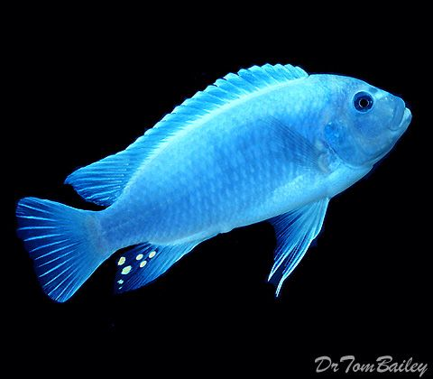 Best 25 african cichlids ideas on pinterest for African freshwater fish