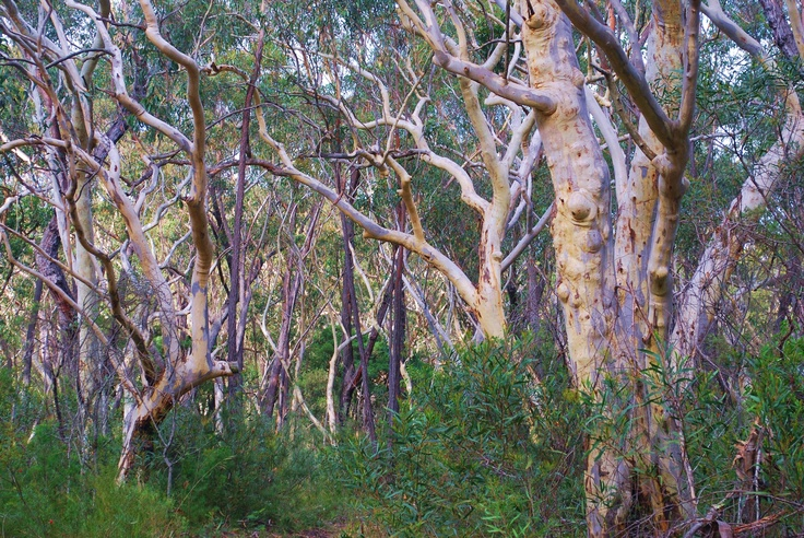 Gum trees, Australian bush, National Parks - by Judy Barford
