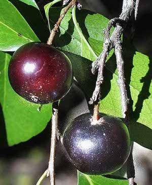Fruto aberia o Ketembillia