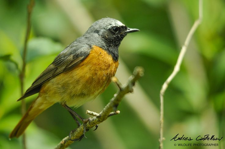 Codirosso (Common redstart) by Andrea Castellani on 500px