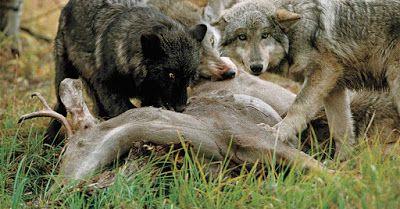 Nedfeldt bytte   Å skyte en ulv for å beskytte sau er en misforstått praksis som faktisk virker mot sin hensikt. Paradoksalt nok fører det...