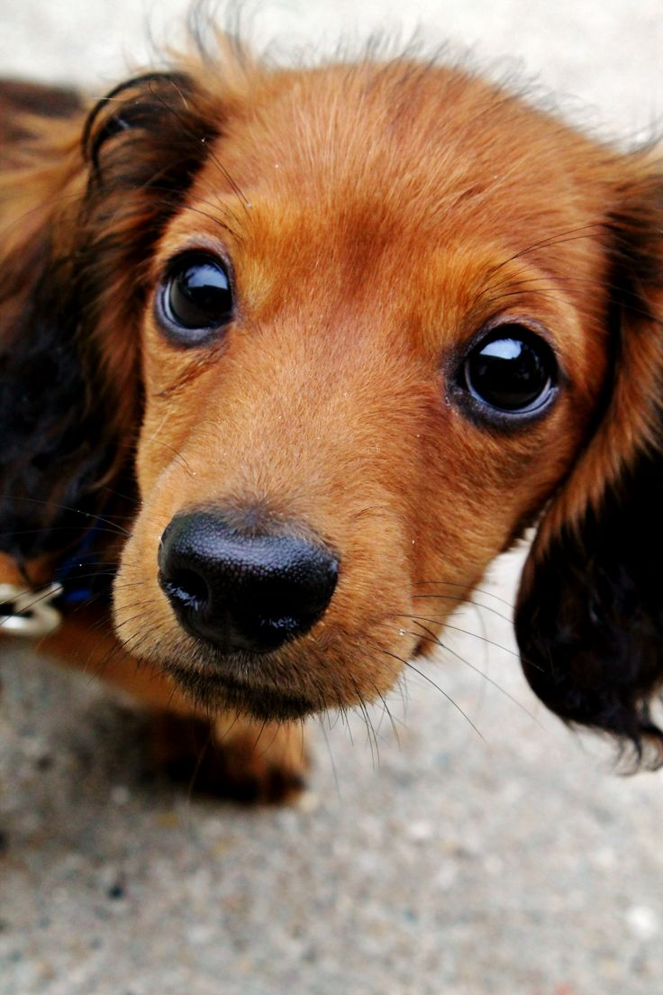 Teddy Bear the daschund Dachshund puppy miniature