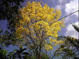 Árbol de Guayacán (Capira)
