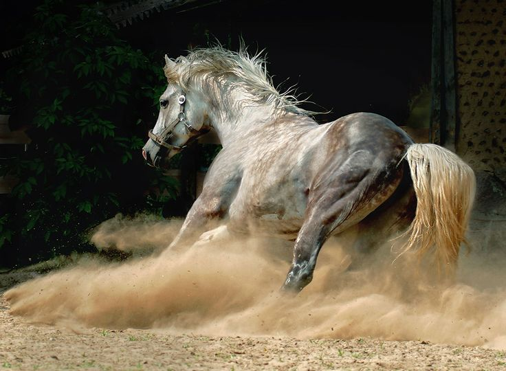 Arabian horses are one of the most important horse breeds. They are recognized by the whole world. There are so many beautiful features of the Arabian horse.