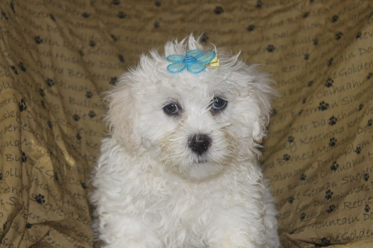 Lhasa - poo puppies - here is another male lhasa poo puppy posted at http://www.network34.com/dogsbreed/lhasa-poo-puppies-for-sale-in-pa/  for sale