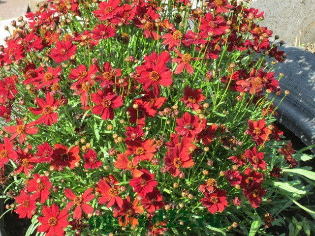 Однолетние цветы, цветущие все лето без рассады - название и фото кореопсиса