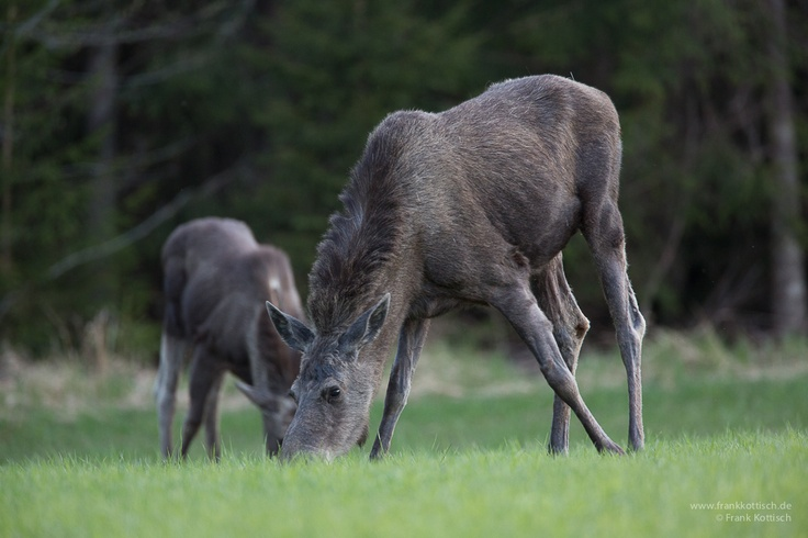 Moose are coming out of the woods during the evening hours. Photo Frank Kottisch.