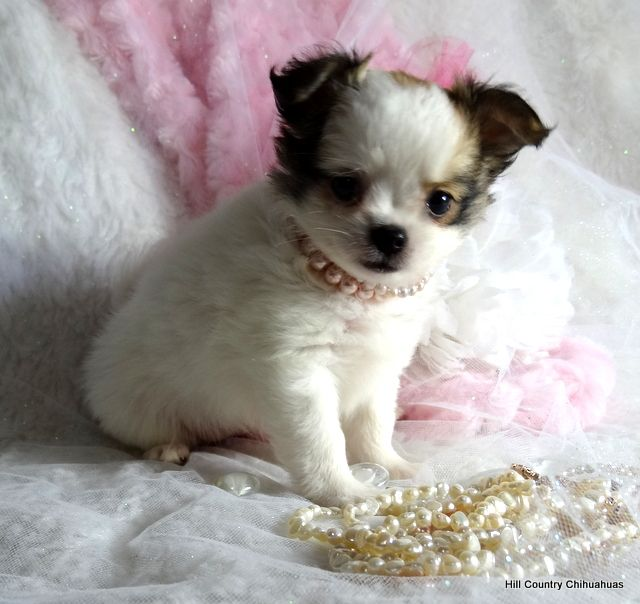 Puppies For Sale Hill Country Chihuahuas