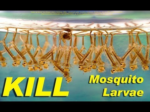 NEW! - Kill mosquito larvae naturally with this weird trick - BEST method to kill mosquitoes - YouTube