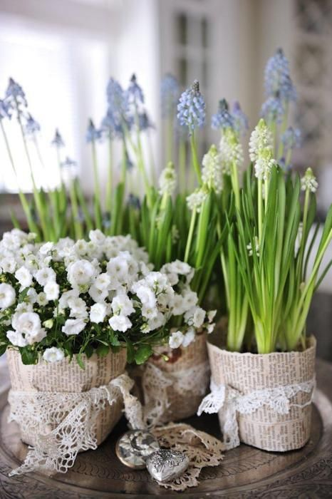 early bulbs in little pots for spring inside the home