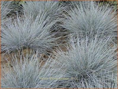 Festuca Glauca Eisvogel, blauwgrijs gras