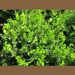 Buxus microphylla japonica 'Green Beauty'