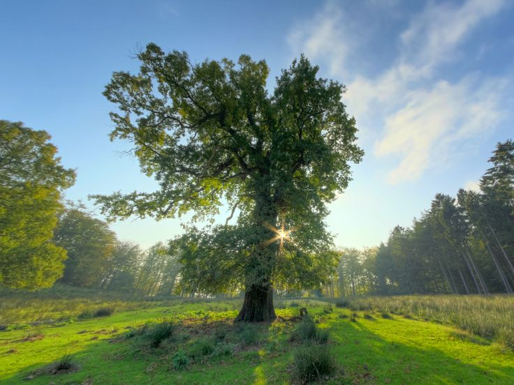 The Great Oak of Dyreborg forest