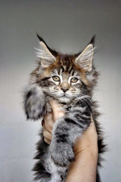 Tuesday's Aww: A Maine Coon Kitten.